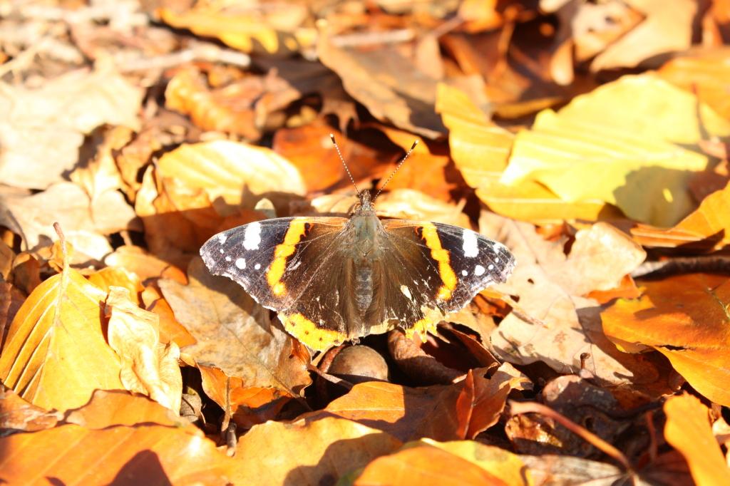 vlinder grbbenberg bos